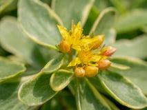 Glattes grünes StonecropSedum-kamtschaticum ** Anmerkung: Flacher dep Stockfotos