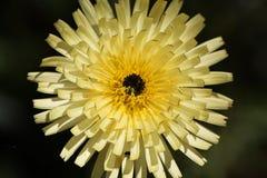 Glattes Urospermum-dalechampii des Goldenen Fliess Stockbilder