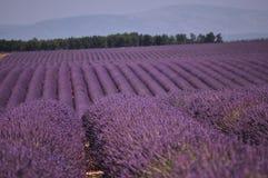 Glauben Sie dem Lavendel Lizenzfreie Stockfotos