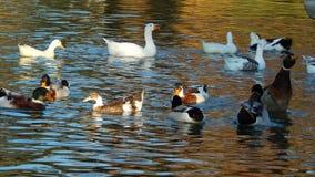Glaubende schöne Wildenten auf dem See Lizenzfreies Stockbild