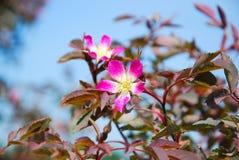 Glauca de Rosa Image libre de droits