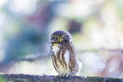 Glaucidium brodiei Royalty Free Stock Photography