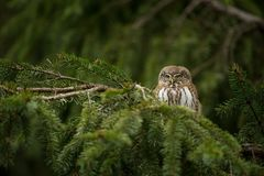 Glaucidium passerinum. It is the smallest owl in Europe. It occurs mainly in northern Europe. Royalty Free Stock Photos