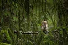Glaucidium passerinum. It is the smallest owl in Europe. It occurs mainly in northern Europe. stock photography