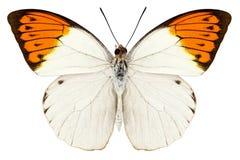 Glaucippe di Hebomoia di specie della farfalla Fotografia Stock Libera da Diritti