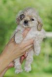 Glaucoma canino imagenes de archivo
