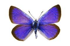 Glaucopsyche Alexis (azul del Verde-superficie inferior) fotos de archivo