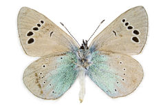 Glaucopsyche alexis (Green-underside Blue). Ventral view of Glaucopsyche alexis (Green-underside Blue) butterfly isolated on white background royalty free stock photography