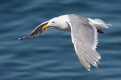 Glaucous-подогнали чайка в полете стоковые изображения rf