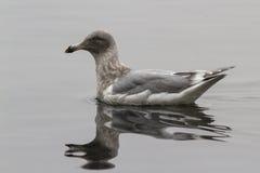 Glaucous-подогнали чайка которая плавает на волны залива Стоковое Изображение RF