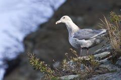 Glaucous-подогнали чайка сидит на наклоне берега  Стоковая Фотография RF