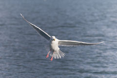 Glaucous чайка в почтовом голубе Аляске Стоковое фото RF