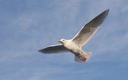glaucous чайка Стоковые Изображения RF