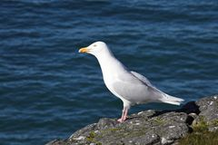 Glaucous чайка Стоковое Фото