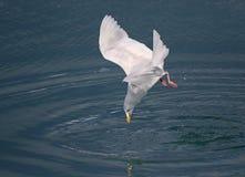 Glaucous чайка Стоковое фото RF
