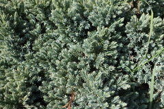 Glaucous blue green needles of flaky juniper. In spring Stock Photo