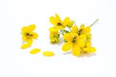 Glaucous Cassia Flower Stock Image