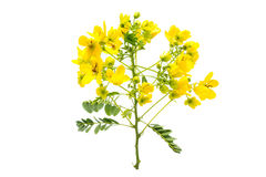 Glaucous Cassia flower Stock Photo