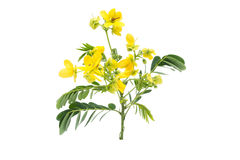 Glaucous Cassia flower Stock Photography