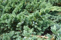 Glaucous foliage of Juniperus squamata. In June Royalty Free Stock Photography