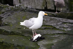 Glaucous gull eating a dead guiilemot Royalty Free Stock Photography