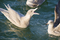 Glaucous Gull and European Herring Gull Royalty Free Stock Photography