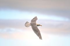 Glaucous Gull Stock Photo