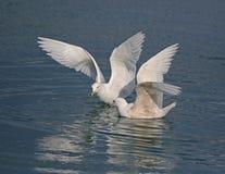 Glaucous Gull Stock Image