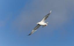 Glaucous Gull in Homer Alaska Royalty Free Stock Image