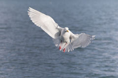 Glaucous Gull in Homer Alaska Stock Photos
