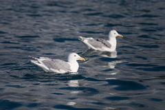 Glaucous Gull in Homer Alaska Royalty Free Stock Photography