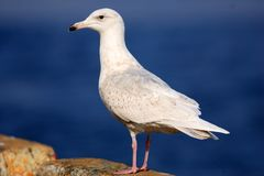 Glaucous Gull in Japan royalty free stock images
