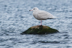 Glaucous Gull Stock Images