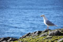 Glaucous Gull (Larus hyperboreus) Stock Photo