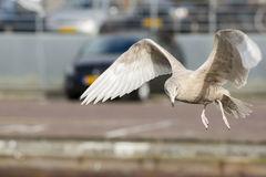 Glaucous Gull Royalty Free Stock Photography