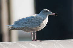 Glaucous Gull Royalty Free Stock Image