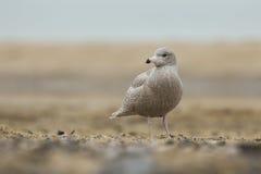 Glaucous gull Larus hyperboreus Stock Photo