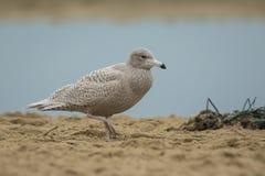 Glaucous gull Larus hyperboreus Stock Photos