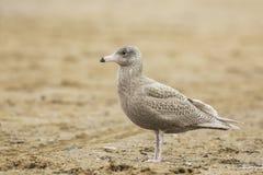 Glaucous gull Larus hyperboreus Royalty Free Stock Images