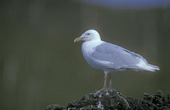 Glaucous gull, Larus hyperboreus Stock Photos