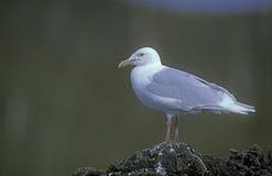 Glaucous gull, Larus hyperboreus Stock Photos