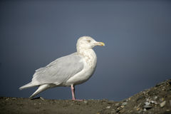 Glaucous gull, Larus hyperboreus. Single bird on rock, Japan Stock Photos