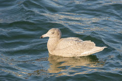 Glaucous Gull Stock Photography