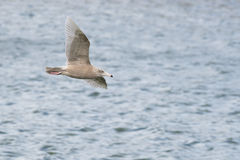 Glaucous Gull Royalty Free Stock Photo