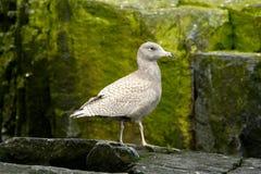 glaucous juvenile чайки Стоковая Фотография