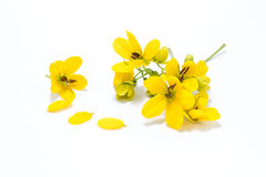 Glaucous kasja kwiat Obraz Stock