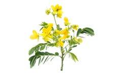 Glaucous kasja kwiat fotografia stock
