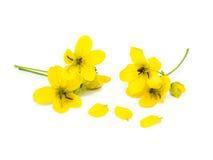 Glaucous kasja kwiat Zdjęcia Royalty Free