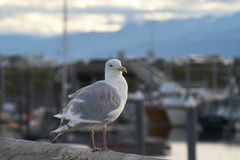 Glaucous-winged Gull Stock Images