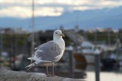Glaucous-winged Gull. Gull on railing at Homer Harbour in Alaska Stock Images